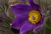 Pasque Flower by Jim Digby
